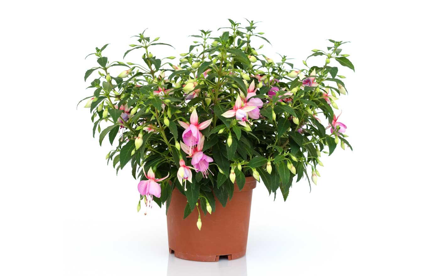 wyeplants the climbing plant specialist